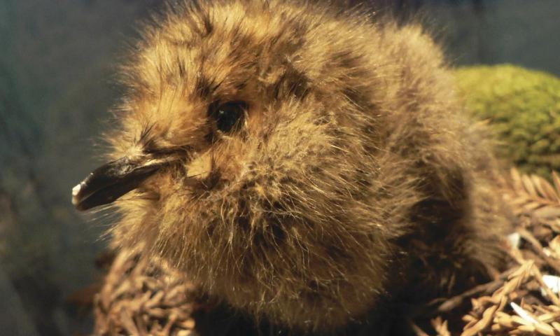 Murrelet Chick